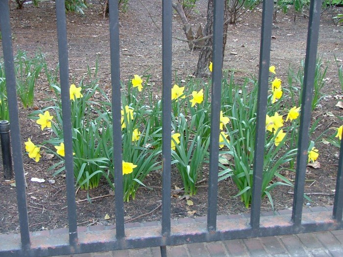 Daffodils. This is for their own protection.
